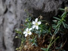 Moehringia bavarica subs insubrica