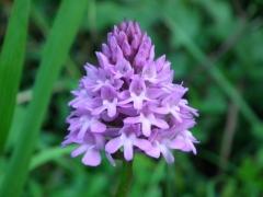Orchis pyramidalis