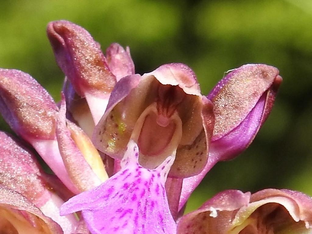 2018-06-09 Orchis spitzelii Brenta (26)