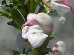 Pedicularis adscendens x rostrato-capitata