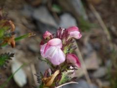 Pedicularis rostrato-capitata