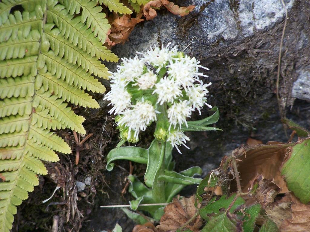 farfaraccio bianco Petasites albus valbreguzzo 4-mar-07 (1)