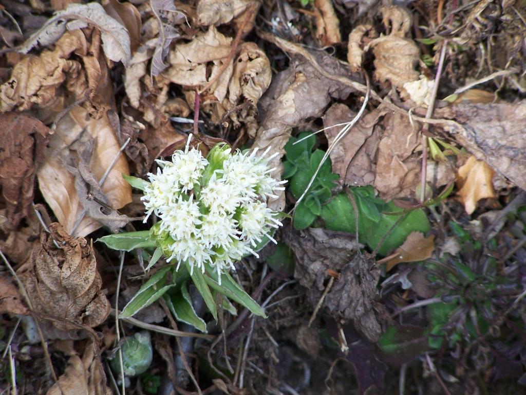 farfaraccio bianco Petasites albus valbreguzzo 4-mar-07