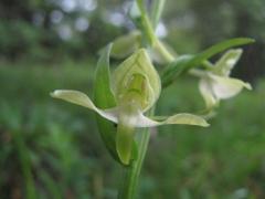 Platanthera clorantha