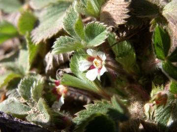 2008-03-22 pescarzo nistabol potentilla micrantha (4)