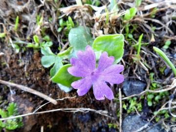 2018-07-10 Primula integrifolia (18)