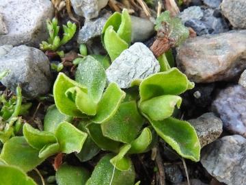 2018-07-10 Primula integrifolia (22)