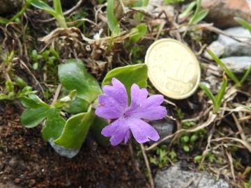 2018-07-10 Primula integrifolia (32)
