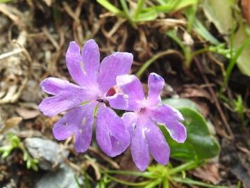 2018-07-10 Primula integrifolia (42)