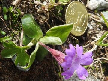 2018-07-10 Primula integrifolia (55)