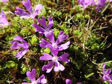 2017-06-11 cima Venegiota e Primula tyrolensis 057