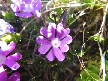 2017-06-11 cima Venegiota e Primula tyrolensis 076