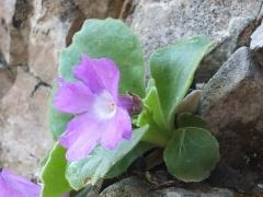 Primula recubariensis
