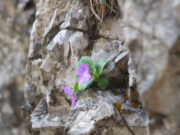 2014-06.02 passo Lora Primula recubariensis 012