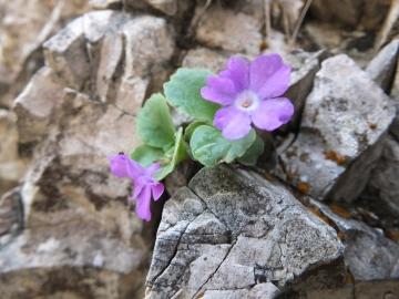2014-06.02 passo Lora Primula recubariensis 014