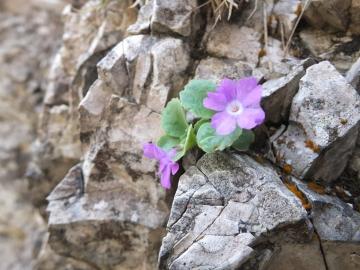 2014-06.02 passo Lora Primula recubariensis 015