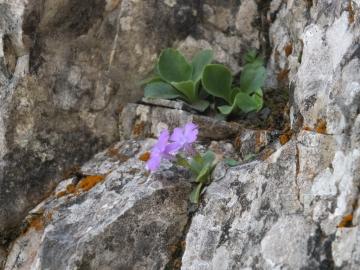 2014-06.02 passo Lora Primula recubariensis 019