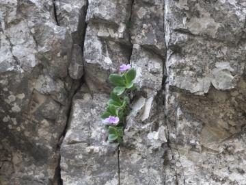 2014-06.02 passo Lora Primula recubariensis 022