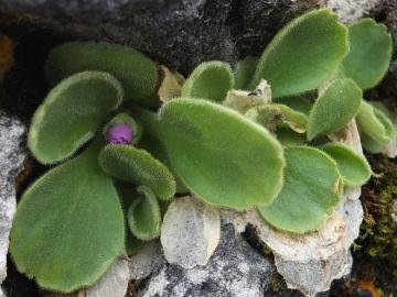 2014-06.02 passo Lora Primula recubariensis 035