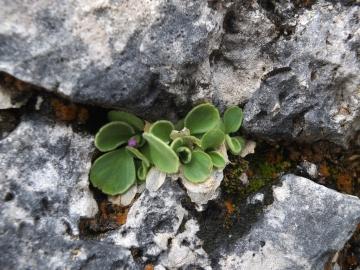 2014-06.02 passo Lora Primula recubariensis 036
