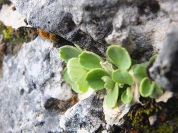 2014-06.02 passo Lora Primula recubariensis 037