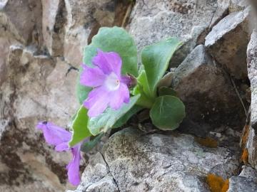 Copia di 2014-06.02 passo Lora Primula recubariensis 012