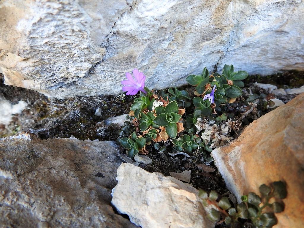 2017-06-11 cima Venegiota e Primula tyrolensis 083