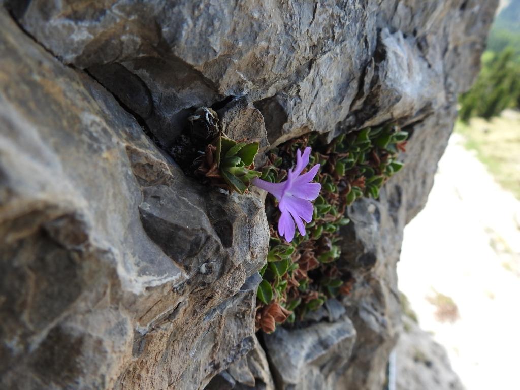 2017-06-11 cima Venegiota e Primula tyrolensis 142