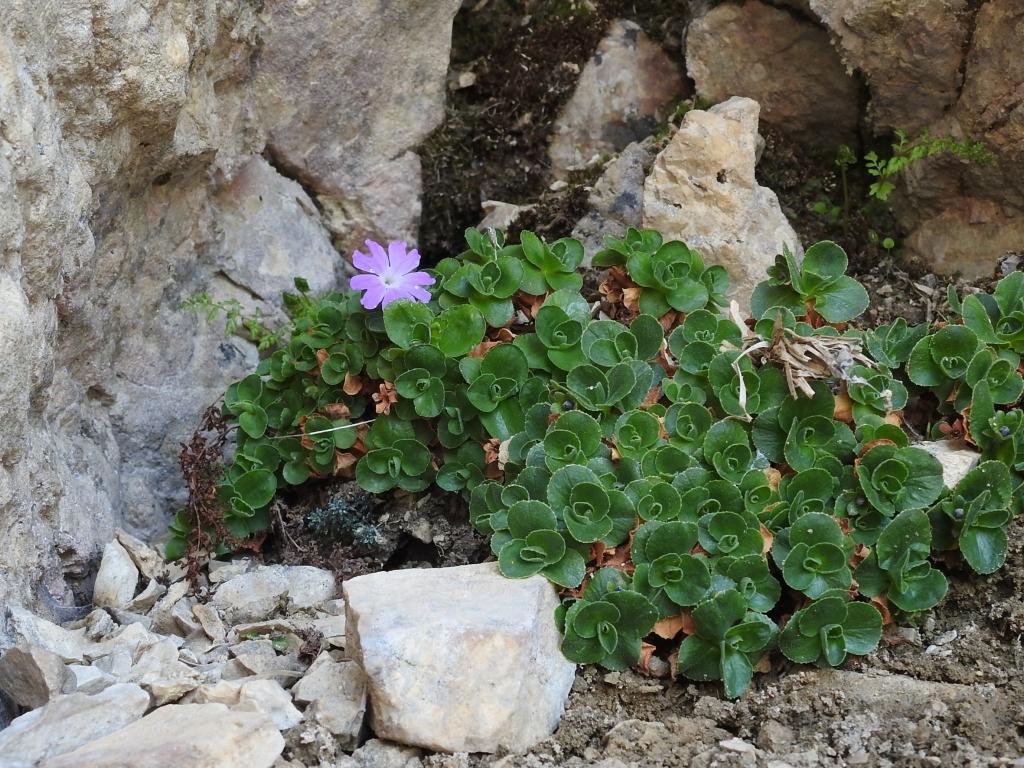 2017-06-11 cima Venegiota e Primula tyrolensis 150