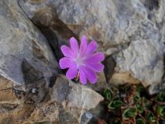 Primula tyrolensis