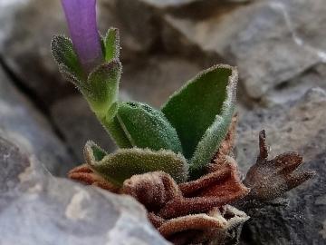 2017-06-11 cima Venegiota e Primula tyrolensis (174) - Copia