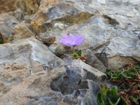 2017-06-11 cima Venegiota e Primula tyrolensis 139