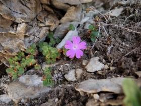2017-06-11 cima Venegiota e Primula tyrolensis (168)