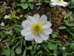 Ranunculus alpinus