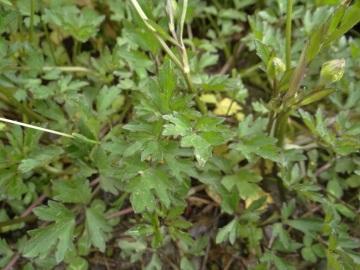 2020-06-01-Ranunculus-tuberosus-1