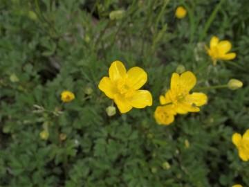 2020-06-01-Ranunculus-tuberosus-2