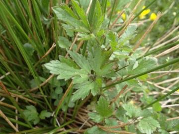 2020-06-01-Ranunculus-tuberosus-6
