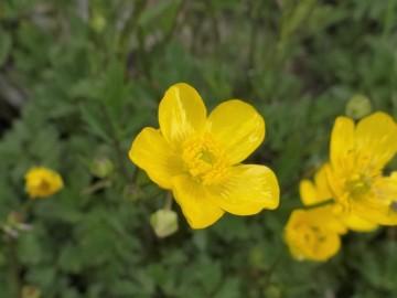2020-06-01-Ranunculus-tuberosus-7