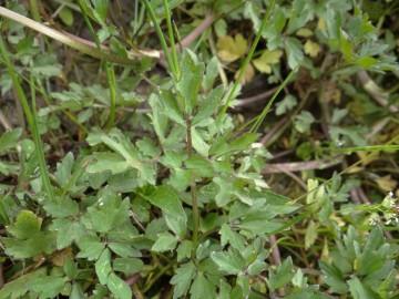 2020-06-01-Ranunculus-tuberosus-9