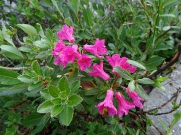 2015-07-09 cimone della bagozza fiori 015