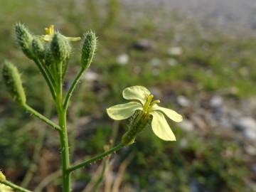 2021-09-06-fiori-Scerne-di-Pineto-75