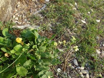 2021-09-06-fiori-Scerne-di-Pineto-78