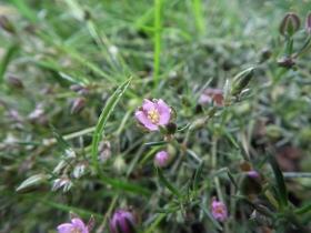 2011-06-12 Spergularia rubra (12)