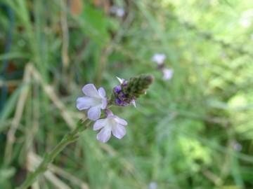 2021-09-08-fiori-Scerne-di-Pineto-16