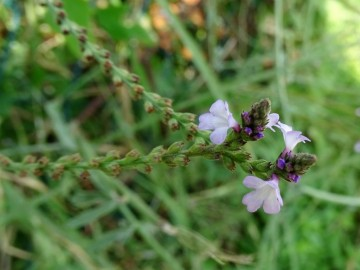 2021-09-08-fiori-Scerne-di-Pineto-17