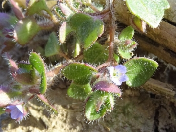 2017-03-12 Veronica hederifolia (8)
