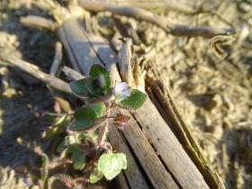 2017-03-12 Veronica hederifolia (5)