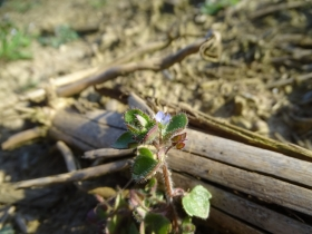 2017-03-12 Veronica hederifolia (7)