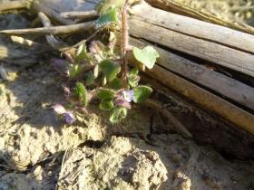 2017-03-12 Veronica hederifolia (8) - Copia
